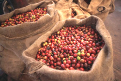 robusta-and-arabica