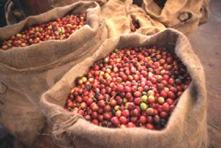 speciality-gourmet-coffee-beans